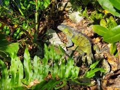 Green iguana; Sanibel Island