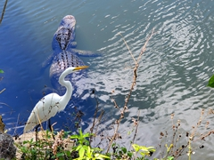 Great egret and an alligator; Big Cyprus Park