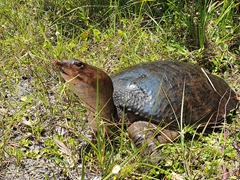 Florida softshell turtle;  in the Florida Everglades