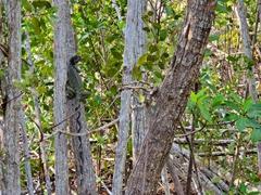 Spiny tail iguana; Key Largo
