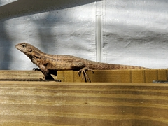 Curly-tailed lizard; Key West