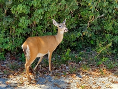 The key deer is an endangered deer that lives only in the Florida Keys