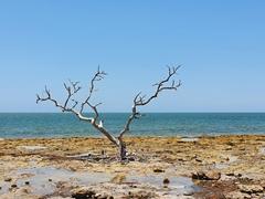 Dead tree at Spanish Harbor Key