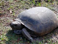 Gopher tortoise; Curry Hammock State Park