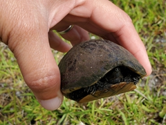 Helping a baby freshwater turtle cross the road; Jonathan Dickinson State Park