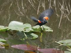 Red-winged blackbird; Everglades National Park