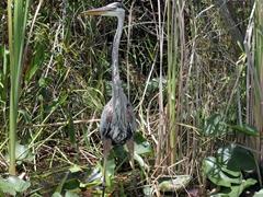 Great blue heron; Everglades
