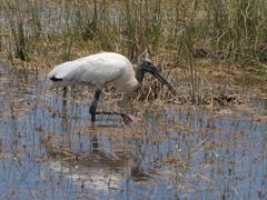 Wood stork; Everglades