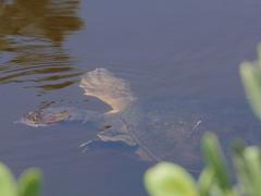 Florida softshell turtle; Merritt Island National Wildlife Refuge