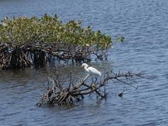 Snowy egret; Merritt Island