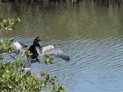Anhinga sunning its wings; Merritt Island