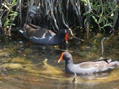 A pair of common gallinule marsh birds; Merritt Island