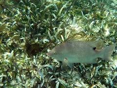 Hogfish snapper; Grecian Rocks