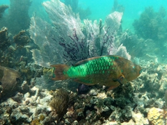 Rainbow parrotfish; Grecian Rocks