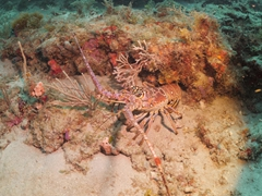 Lobster; The Bluffs dive site