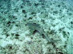 Nurse shark at the Bluffs