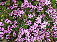 Moss campion, a common wildflower in Iceland