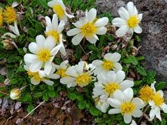 Mountain avens, an artic alpine flowering plant
