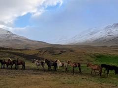 Icelandic horses by the roadside; Vatnsnes Peninsula