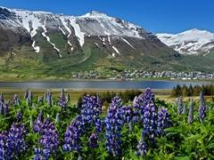 Lupine view of pretty Siglufjörður