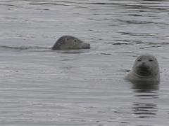 Harbor seals at Ytri Tunga; Snæfellsnes Peninsula
