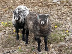 Lambs at Ytri Tunga