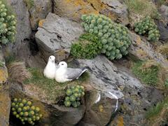 Kittiwakes nesting on the Arnarstapi bird cliffs