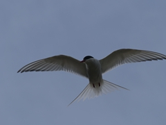 Artic tern aggressively defending its nest