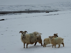 A curious ewe with her two lambs; near Hrafnabjargafoss