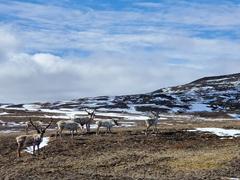 A herd of reindeer just off Ring Road