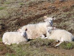An ewe relaxing with her lambs; Fimmvörðuháls Trail