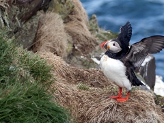 An Atlantic puffin stretching its wings