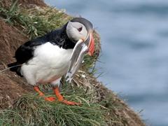 A puffin with its beak full of sand eels; Borgarfjörður eystri