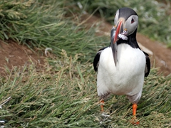 A puffin carrying sand eels to feed its hungry chick