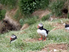 After not seeing a single puffin at Latrabjarg cliffs, we were thrilled to see hundreds of them at Borgarfjörður eystri
