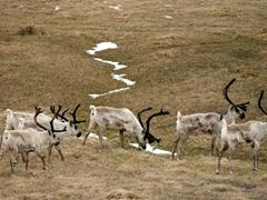 A herd of reindeer in Reyðarfjörður