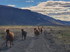Icelandic horses galloping towards us;  Þórsmörk