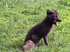 Artic fox mid yawn
