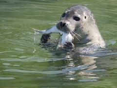 Harbor seal munching on a fish; Reykjavik zoo