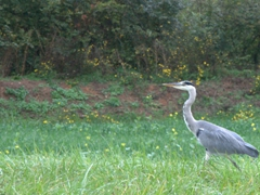 Herons are a common sight along the Canal du Nivernais
