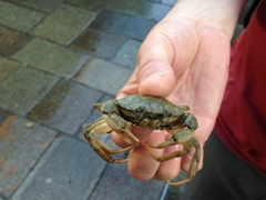 Robby rescues a crab that survived the Rialto Fish Market