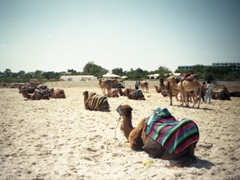 Camels galore; Hammamet Beach