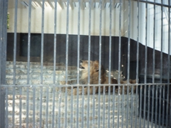 Poor lions are kept in a tiny cage at the Tunis Zoo