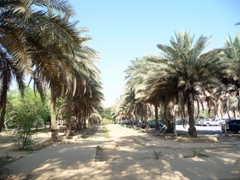Date palm tree parking lot; FOB Prosperity