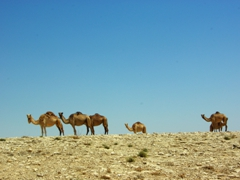 Camels sauntering through the desert in Palestine