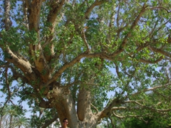 Becky stands beneath the tree of Zacchaeus, an ancient sycamore tree that Zacchaeus supposedly climbed in order to get a better view of a preaching Jesus; Jericho
