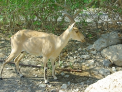 Side profile of a Nubian Ibex; Ein Gedi Nature Reserve