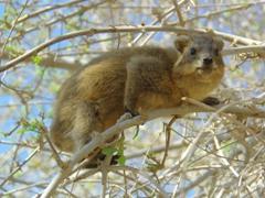 A curious rock hyrax checks us out; Ein Gedi