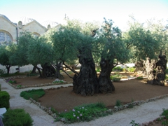 Ancient olive trees from the Garden of Gethsemane which is the site where Jesus was betrayed and arrested; Jerusalem