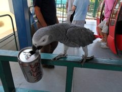 This talkative bird tries for a sip of diet Coke; Jericho Cable Car waiting area